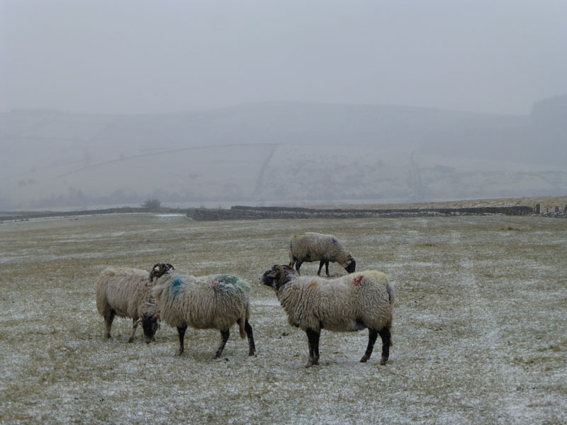 Pendle Sheep