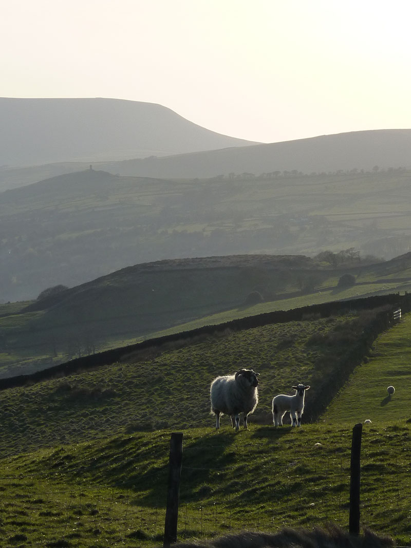 Sheep and Pendle Hill