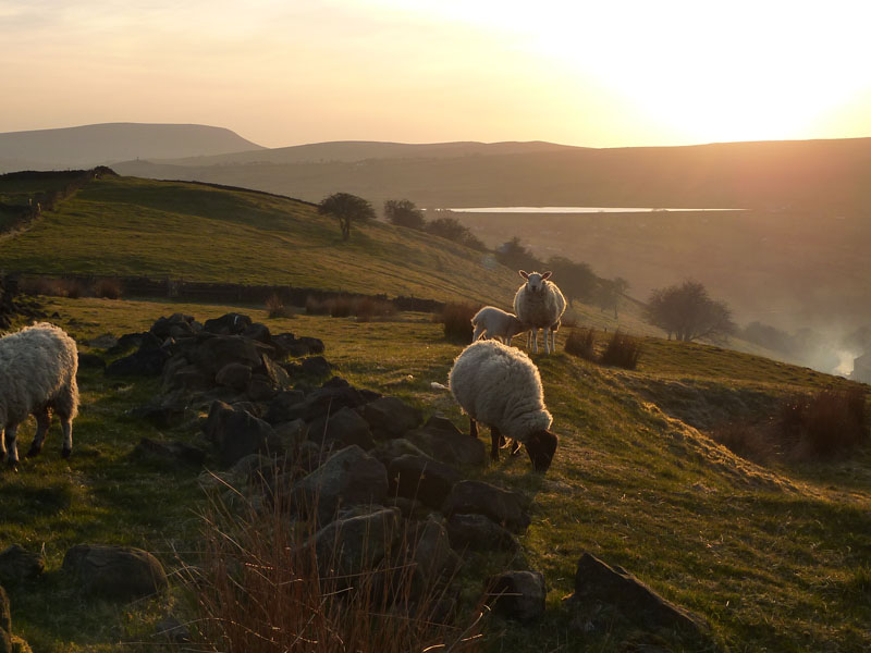 Sheep and Pendle Sunset